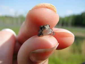 Der kleinste Frosch der Welt