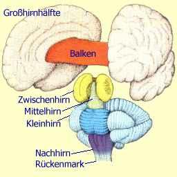 Wie Schwer ist das Menschliche Gehirn