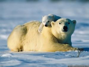 Mutter mit Eisbären Nachwuchs
