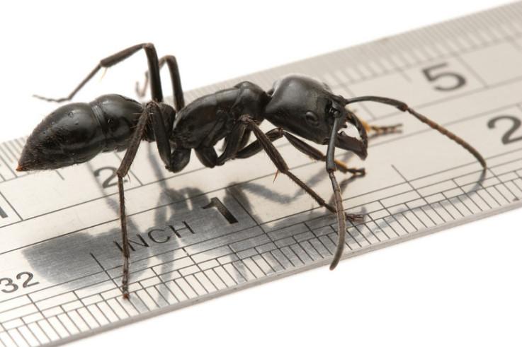 Größte Ameisenart