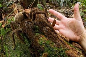 Goliath Vogelspinne - Groesste Spinne der Welt