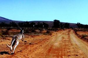 Vorsicht Kängurus beim überholen