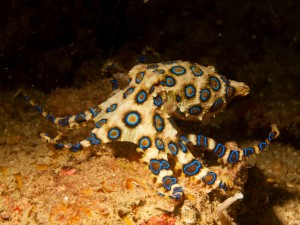 Blauring Oktopus in den Philippinen