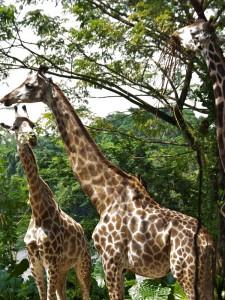Giraffen im Singapur Zoo