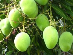 Ein Mangobaum mit Grünen Mango