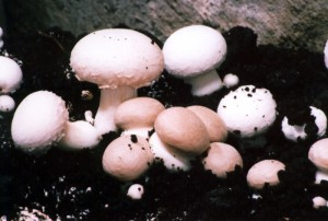 Agaricus bisporus - Der Chamignon