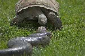Anakonda gegen Schildkröte
