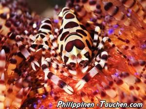 Coleman Shrimp auf einem Seeigel