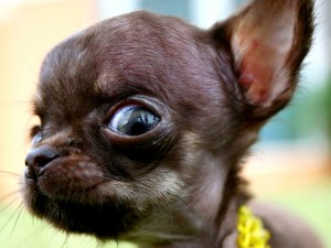Hässlich oder Süß - Der Kleinste Hund der Welt