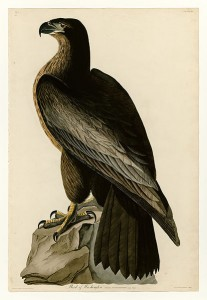 Yeichnung aus dem teuersten Buch der Welt - Birds of America Bildquelle : Wikipedia