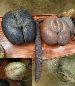 Verschiedene Pflanzensamen der Seychellenpalme