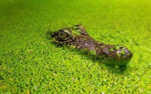 Wasserlinsen mit Krokodil